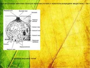 Вкусовые почки имеют овальную форму находятся в толще многослойного эпителия