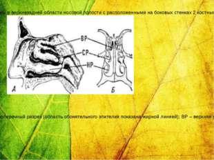 Органы обоняния: А – носовые раковины человека (вид со стороны носовой перего
