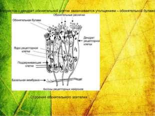 У человека насчитывается около 40 млн обонятельных клеток. Периферический отр