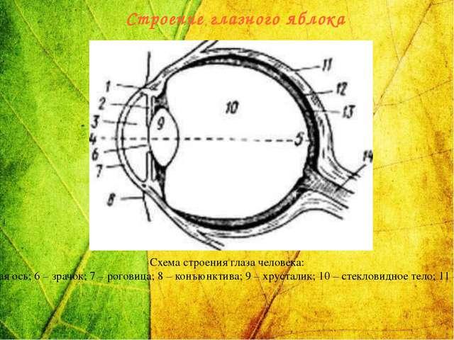 Схема строения глаза человека: 1 – ресничная мышца; 2 – радужная оболочка; 3...