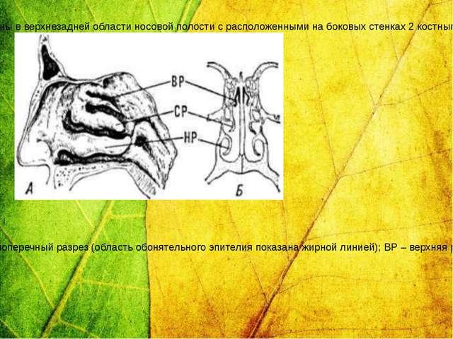 Органы обоняния: А – носовые раковины человека (вид со стороны носовой перего...