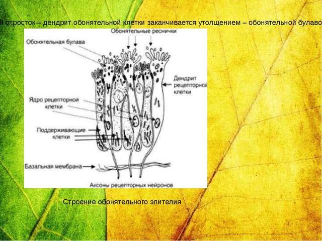 У человека насчитывается около 40 млн обонятельных клеток. Периферический отр...