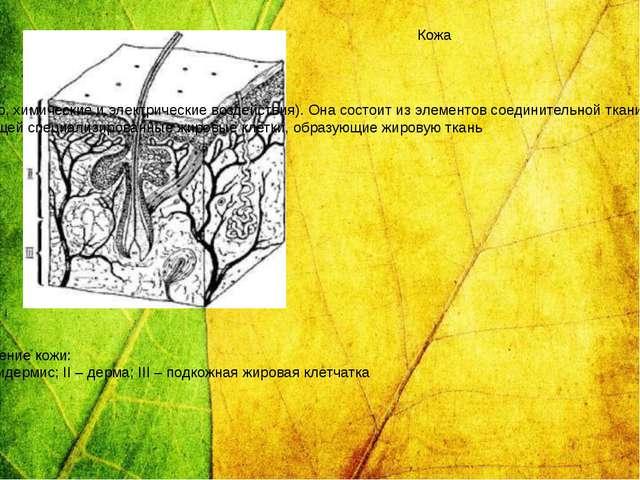Строение кожи: I – эпидермис; II – дерма; III – подкожная жировая клетчатка...