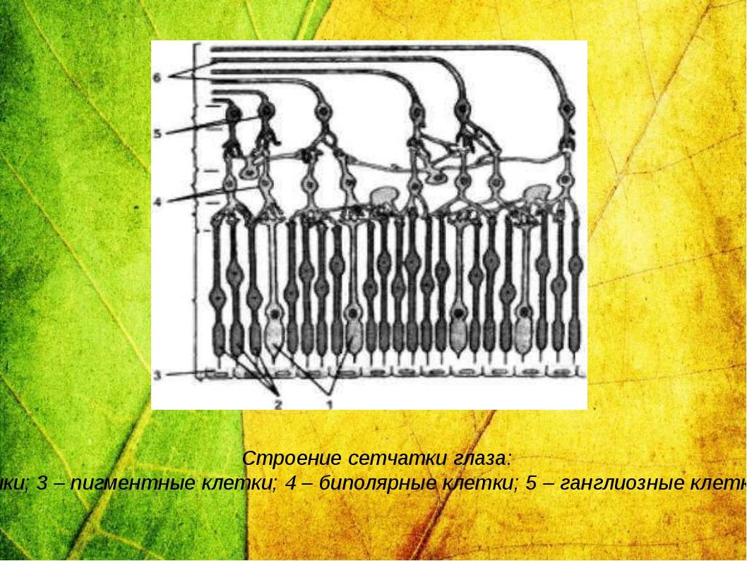 Строение сетчатки глаза: 1 – колбочки; 2 – палочки; 3 – пигментные клетки; 4...