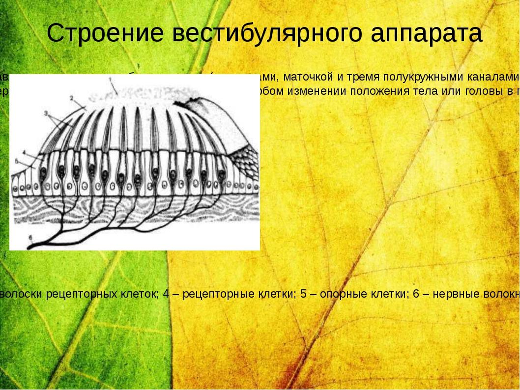Периферическим отделом вестибулярного анализатора является вестибулярный аппа...