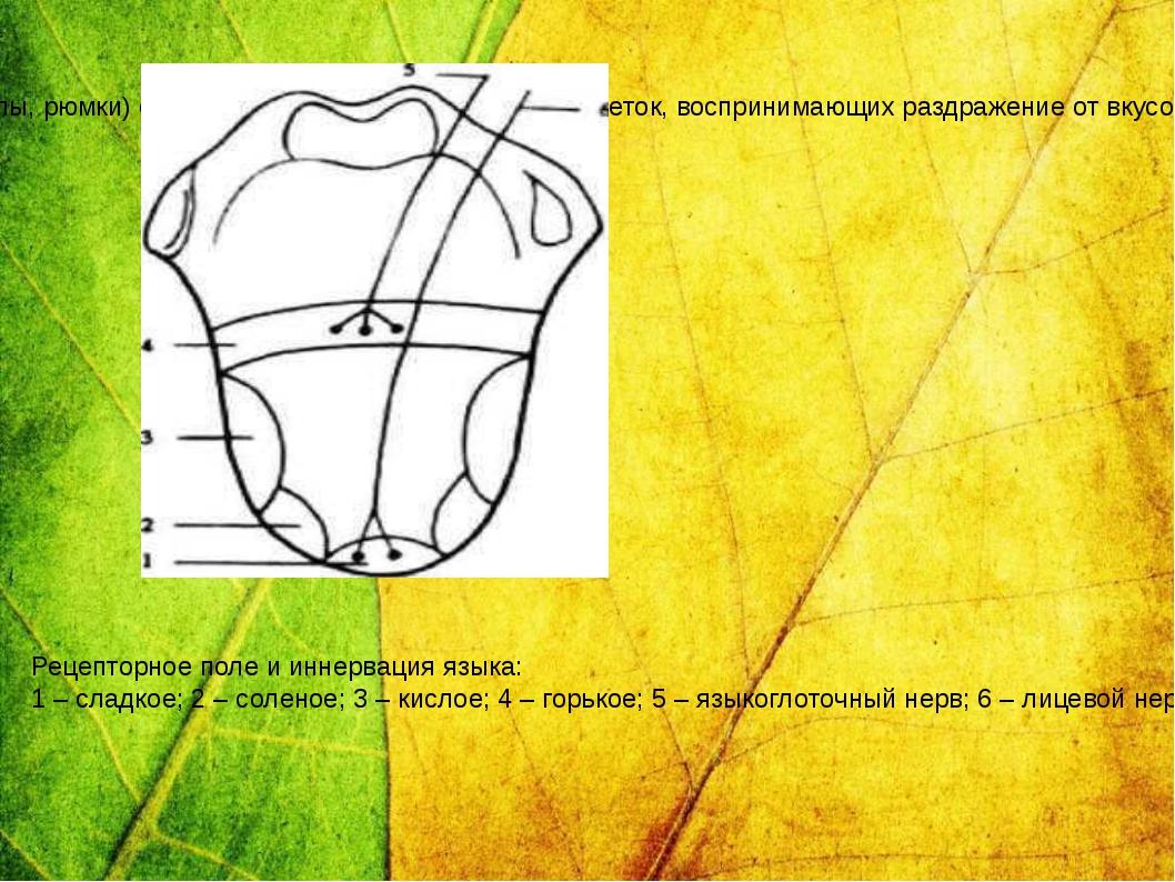 Вкусовые луковицы (почки, бокалы, рюмки) состоят из опорных и рецепторных кле...