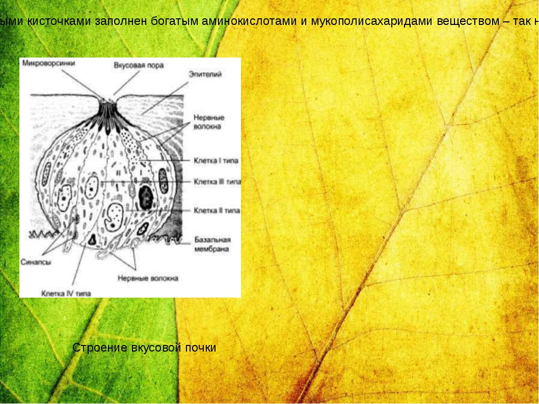 Вкусовые почки имеют овальную форму находятся в толще многослойного эпителия...