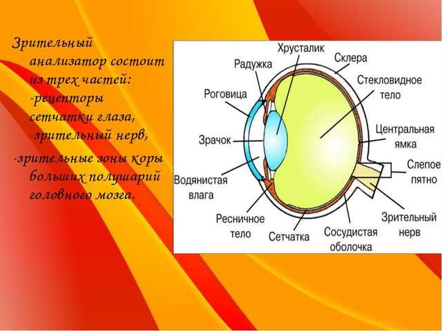 Зрительный анализатор состоит из трех частей: -рецепторы сетчатки глаза, -зри...