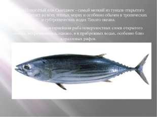 Тунец Полосатый или Скипджек - самый мелкий из тунцов открытого океана - обит