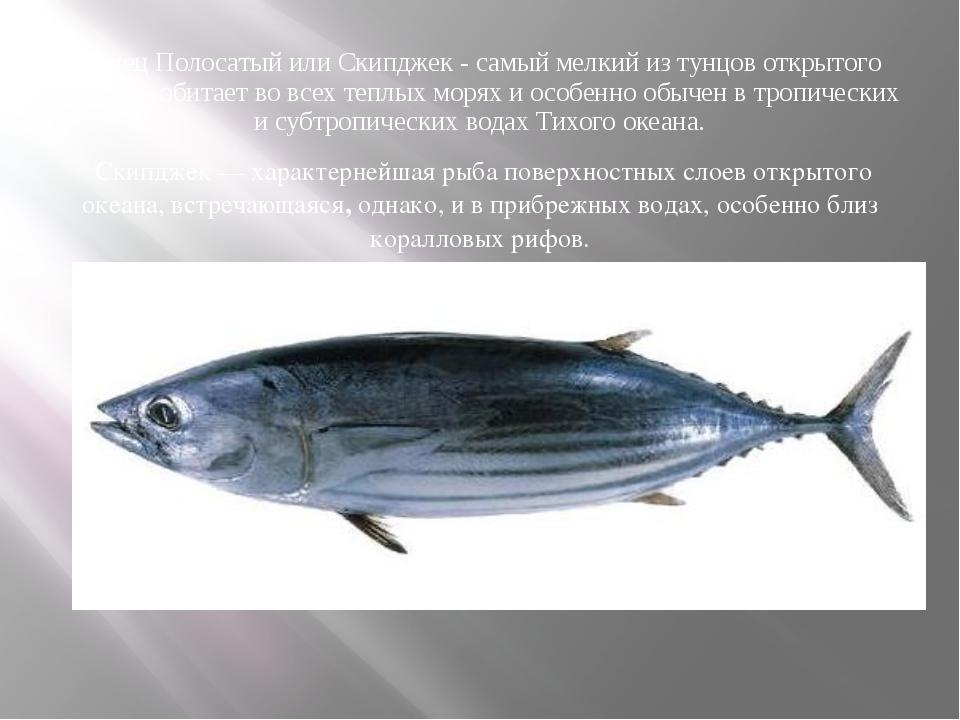 Тунец Полосатый или Скипджек - самый мелкий из тунцов открытого океана - обит...
