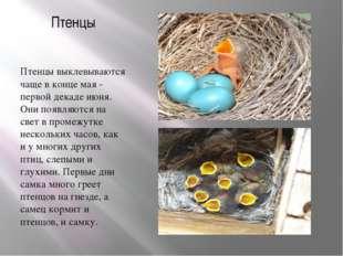 Птенцы Птенцы выклевываются чаще в конце мая - первой декаде июня. Они появля