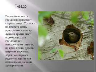 Гнездо Первыми на места гнездовий прилетают старые самцы. Сразу же по прилете
