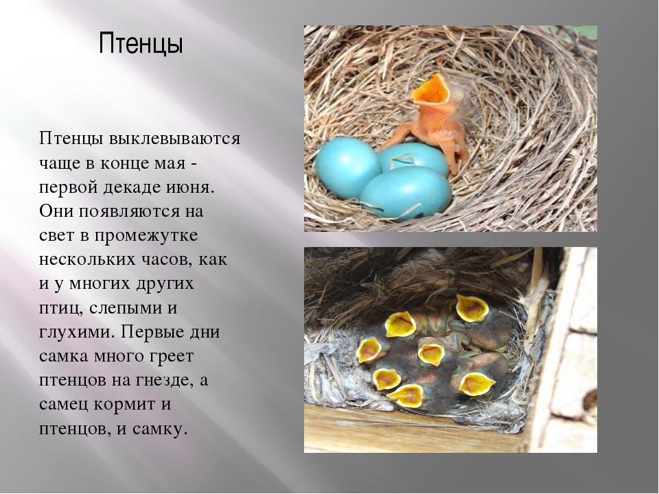 Птенцы Птенцы выклевываются чаще в конце мая - первой декаде июня. Они появля...