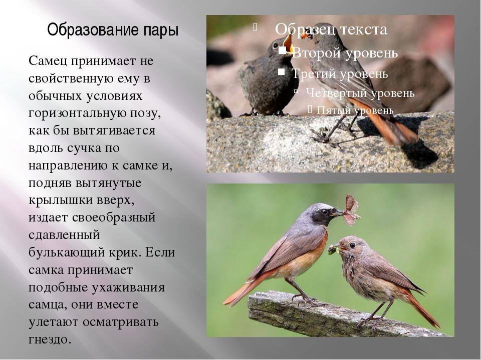 Образование пары Самец принимает не свойственную ему в обычных условиях гориз...