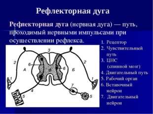 Рефлекторная дуга(нервная дуга)— путь, проходимый нервными импульсами при о