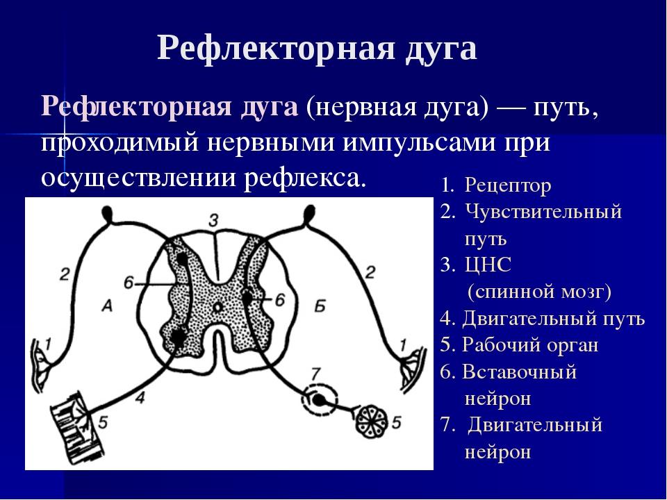Рефлекторная дуга(нервная дуга)— путь, проходимый нервными импульсами при о...