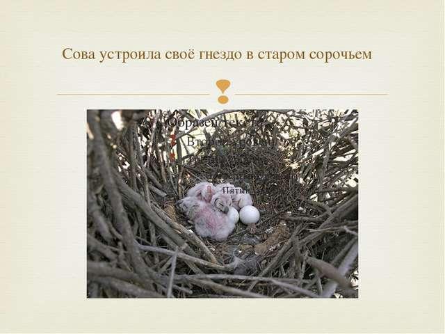 Сова устроила своё гнездо в старом сорочьем 