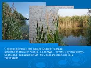 С северо-востока и юга берега Ильменя покрыты широколиственными лесами, а с з