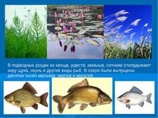 В подводных рощах из хвоща, рдеста, камыша, ситника откладывают икру щука, ок