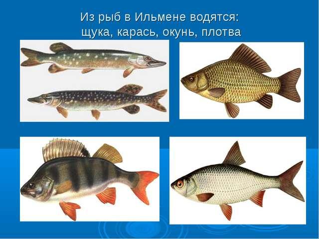 Из рыб в Ильмене водятся: щука, карась, окунь, плотва