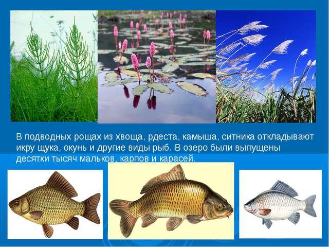В подводных рощах из хвоща, рдеста, камыша, ситника откладывают икру щука, ок...