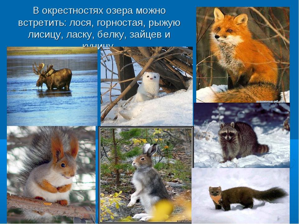 В окрестностях озера можно встретить: лося, горностая, рыжую лисицу, ласку, б...