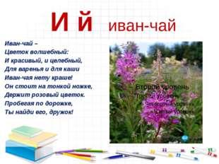И й иван-чай Иван-чай – Цветок волшебный: И красивый, и целебный, Для варень