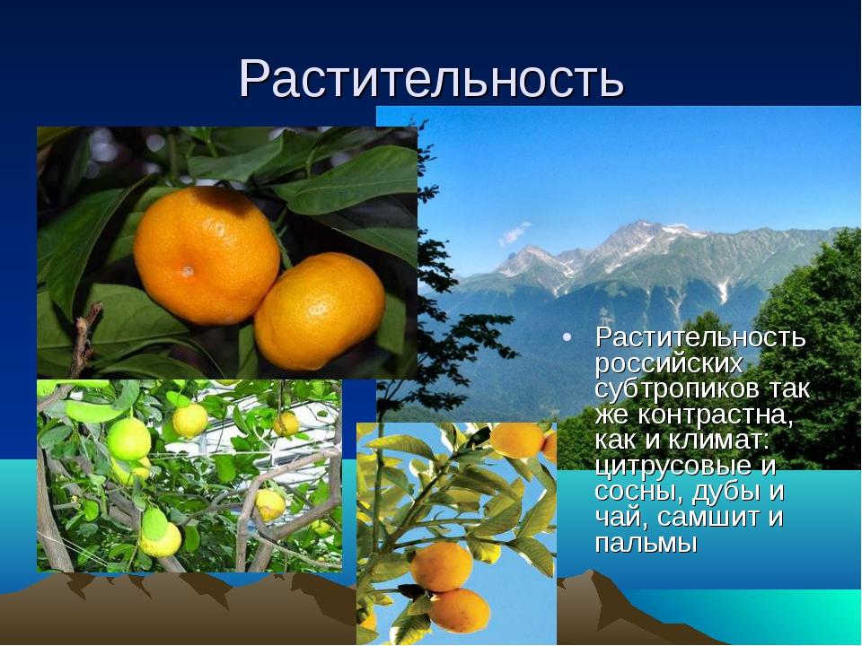 Растительность Растительность российских субтропиков так же контрастна, как и...