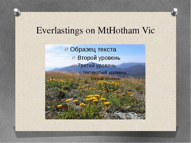 Everlastings on MtHotham Vic