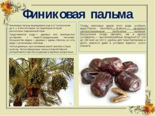 Финиковая пальма Финиковую пальму выращивали ещё в IV тысячелетии дон.э. в