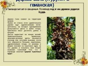 Дерево Сала (Курупита гвианская) в Таиланде считается священным. По легенде,