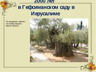 Древние оливы в возрасте более 2000 лет в Гефсиманском саду в Иерусалиме По