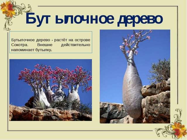 Бутылочное дерево Бутылочное дерево - растёт на острове Сокотра. Внешне дейст...