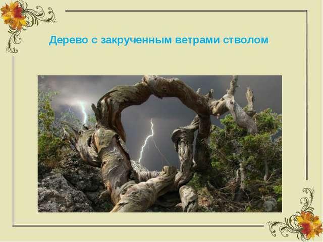 Дерево с закрученным ветрами стволом