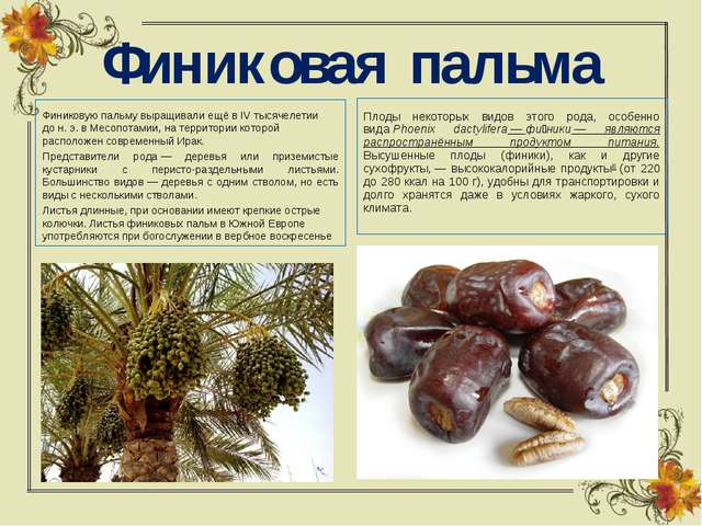 Финиковая пальма Финиковую пальму выращивали ещё в IV тысячелетии дон.э. в...