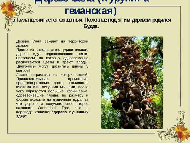 Дерево Сала (Курупита гвианская) в Таиланде считается священным. По легенде,...