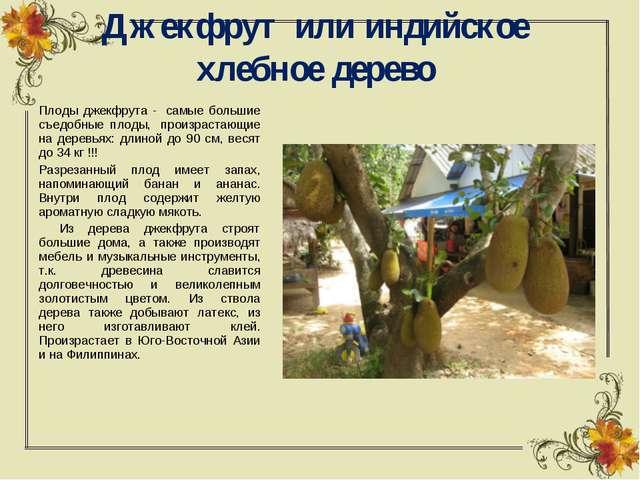 Джекфрут или индийское хлебное дерево Плоды джекфрута - самые большие съедоб...