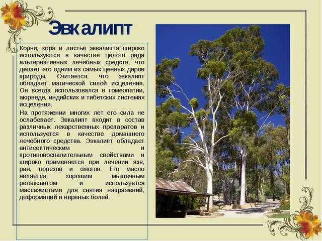 Эвкалипт Корни, кора и листья эквалипта широко используются в качестве целого...