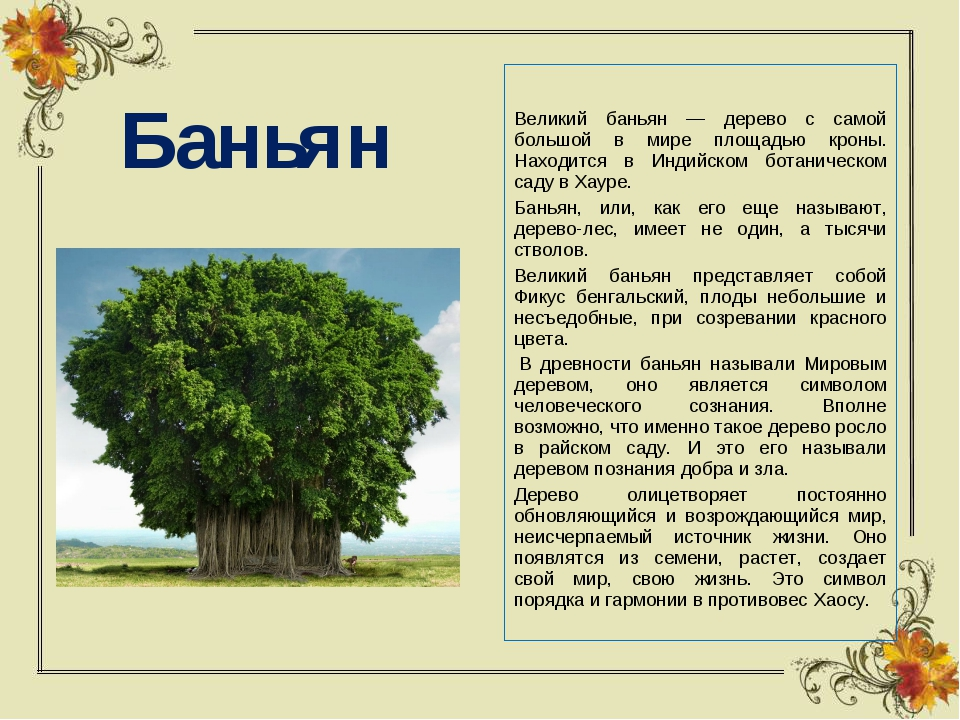 Баньян Великий баньян — дерево с самой большой в мире площадью кроны. Находит...