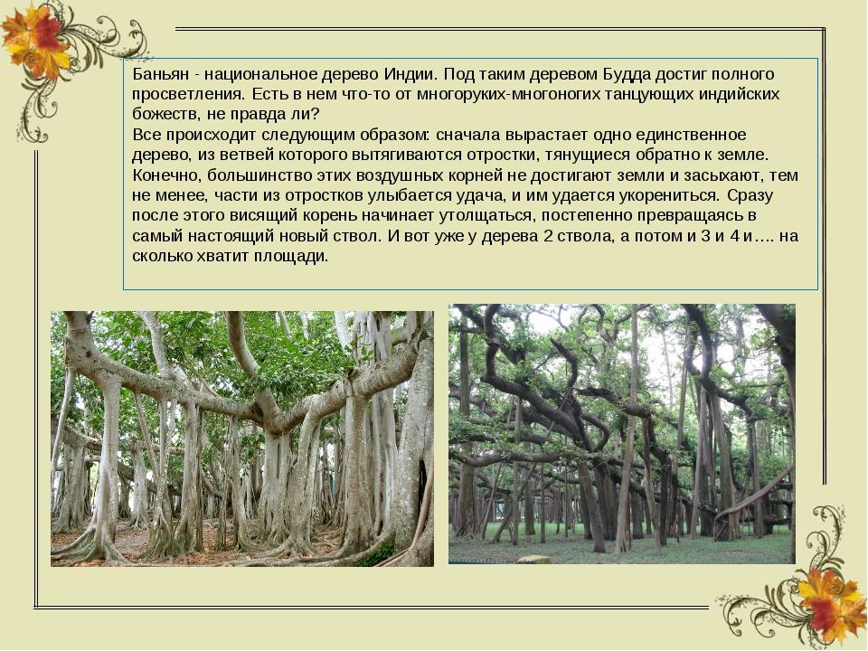 Баньян - национальное дерево Индии. Под таким деревом Будда достиг полного пр...