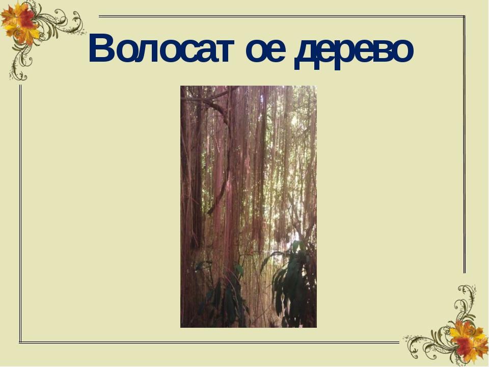 Волосатое дерево