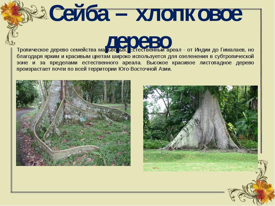 Сейба – хлопковое дерево Тропическое дерево семейства мальвовых.Естественн...