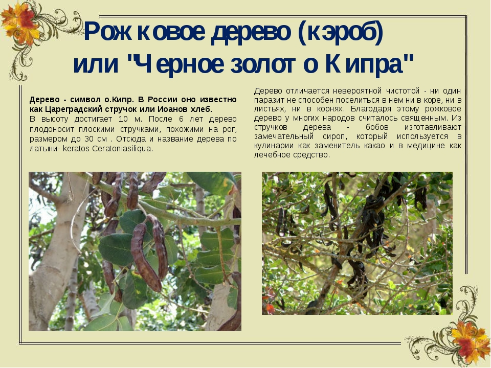 """Рожковое дерево (кэроб)  или """"Черное золото Кипра"""" Дерево - символ о.Кипр...."""