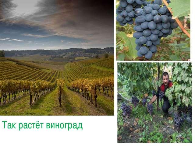 Так растёт виноград