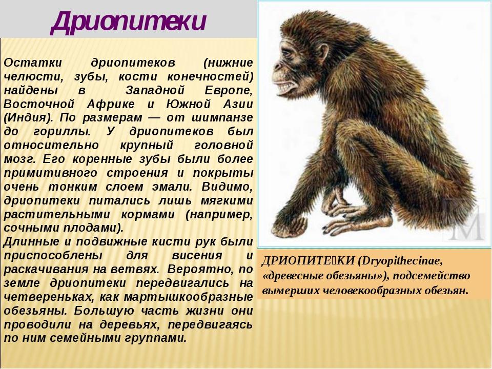 Дриопитеки ДРИОПИТЕ́КИ (Dryopithecinae, «древесные обезьяны»), подсемейство в...