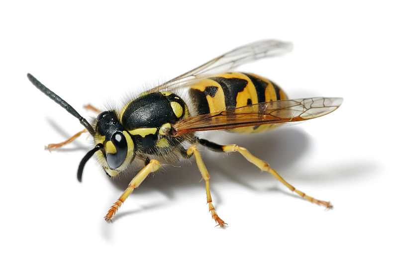 http://upload.wikimedia.org/wikipedia/commons/thumb/9/93/European_wasp_white_bg.jpg/800px-European_wasp_white_bg.jpg