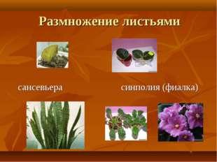 Размножение листьями сансевьера синполия (фиалка)