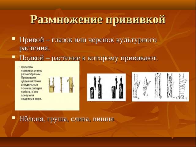Размножение прививкой Привой – глазок или черенок культурного растения. Подво...