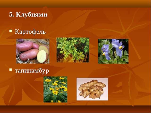 5. Клубнями Картофель тапинамбур