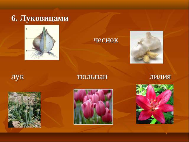 6. Луковицами чеснок лук тюльпан лилия